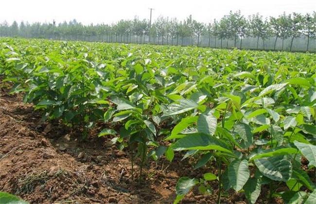 果樹栽培:核桃的栽植方法與種養管理要點