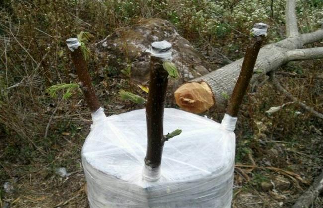 核桃树苗的嫁接方法