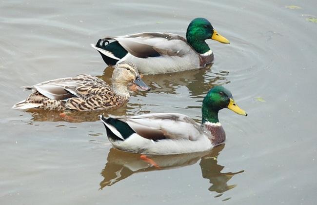 适合乡村养殖的几种鸭子