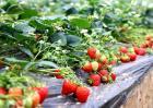 草莓的田间管理技术