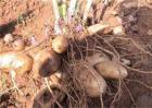 雪莲果的种植方法