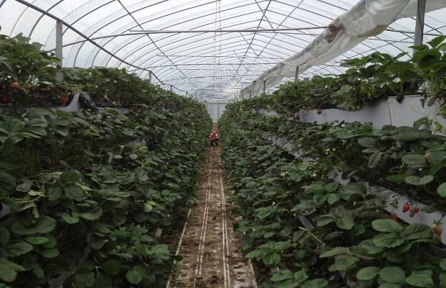 草莓科学大棚种植技术