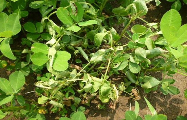 花生种植常见病虫害的防治方法