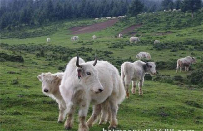 牦牛养殖注意事项