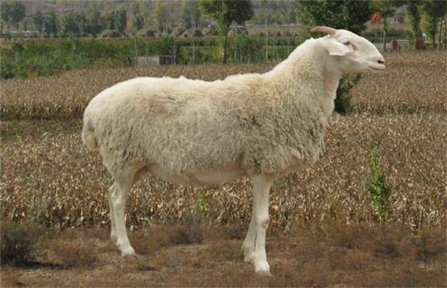 极润比较高的几种肉羊