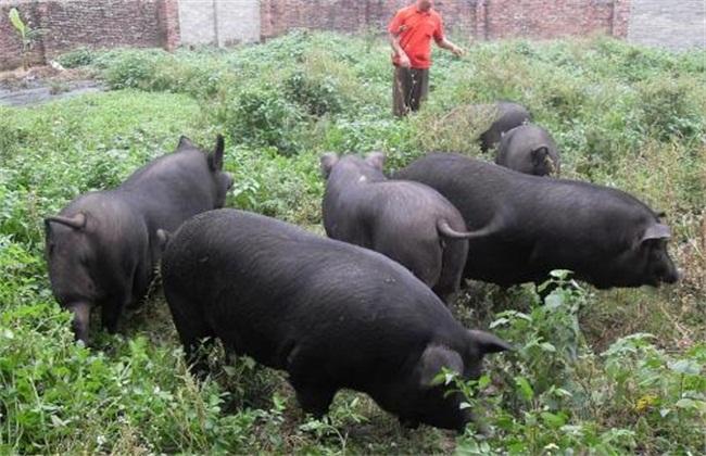 土猪养殖很有前途吗