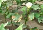 棉花常见病虫害及防治方法