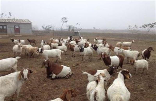 养羊的常见误区