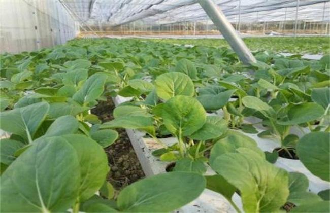 种植绿色有机蔬菜