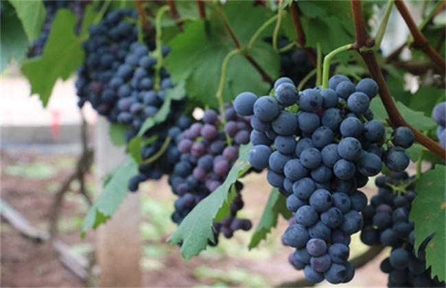 巨峰葡萄几月份成熟上市