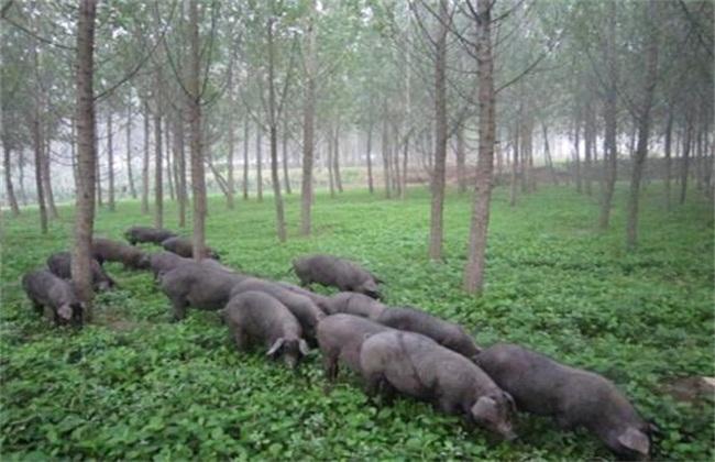 四川地区适合养什么猪