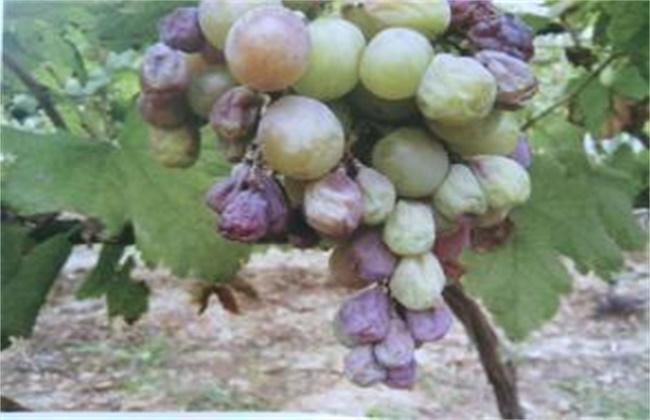 葡萄烂果、软粒的原因和防治方法