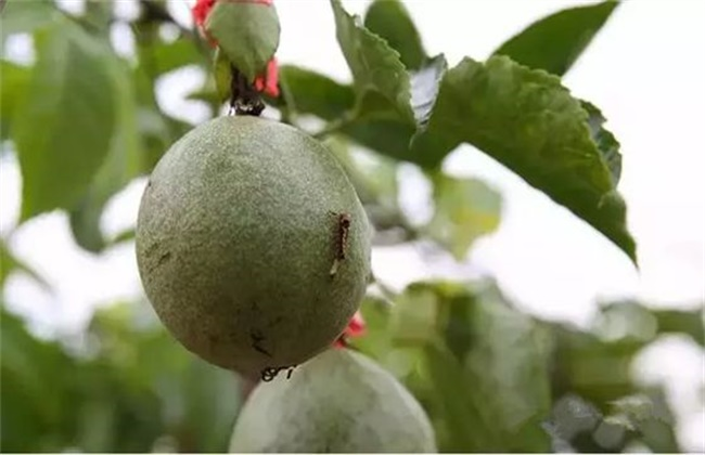 百香果的常见病害及防治方法
