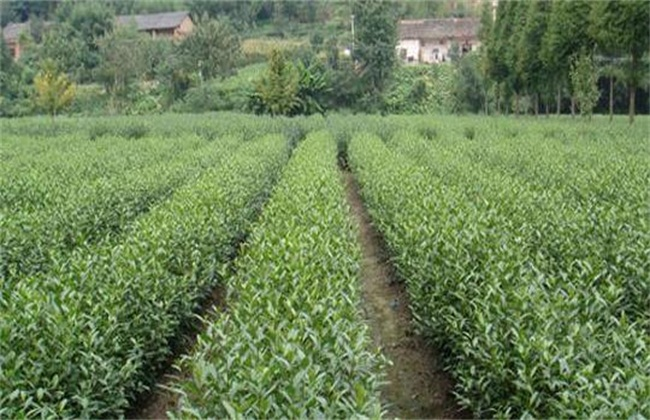 茶叶树种植技术