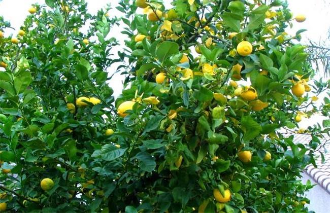 柠檬的种植方法