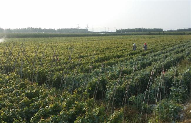 葡萄的种植条件