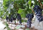葡萄种植的自然条件