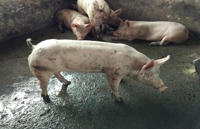 国外养猪的科学增重方法