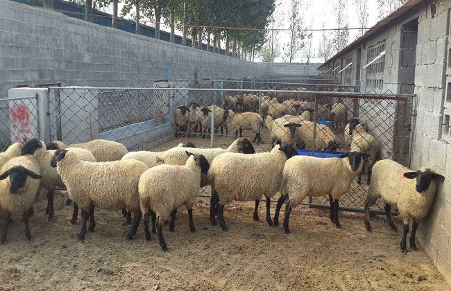 2019年肉羊的养殖行情预测