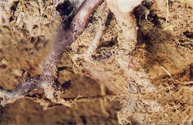 猕猴桃的常见病虫害及防治方法