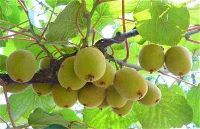 猕猴桃的常见病害及防治方法