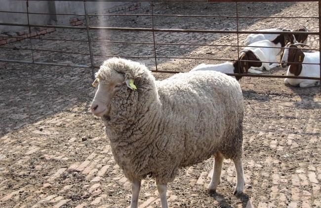 大型圈养羊的常见四类疾病