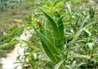 秋葵常见的病虫害及防治方法
