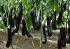 茄子种植的注意事项