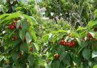 樱桃种植的注意事项