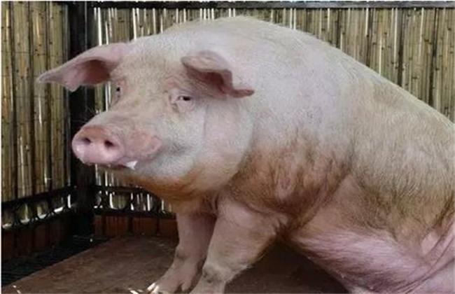 母猪掉膘严重怎么办