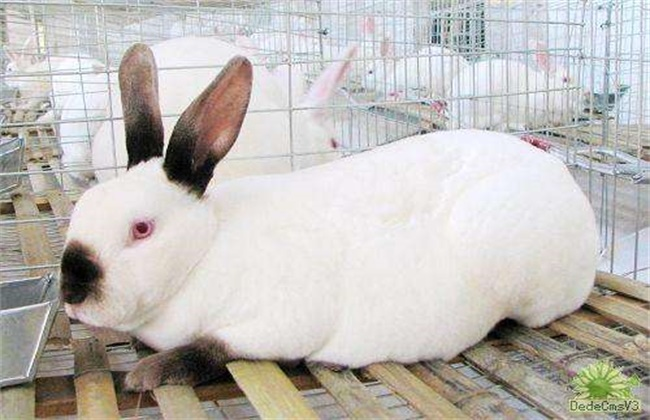 獭兔的养殖技术