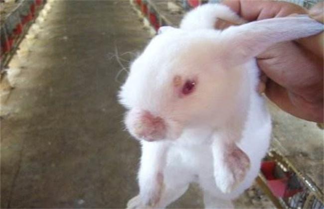 獭兔常见的病害及防治方法