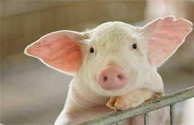 夏季养猪注意事项
