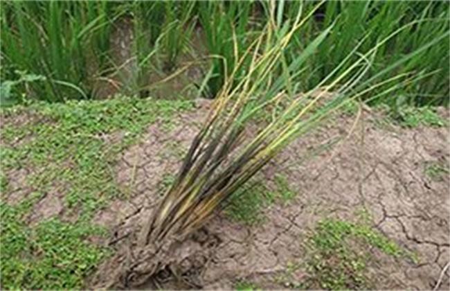水稻种植烂秧怎么办