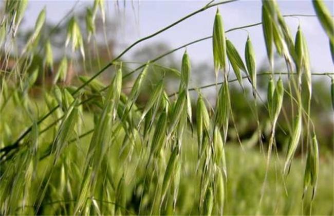燕麦的种植方法