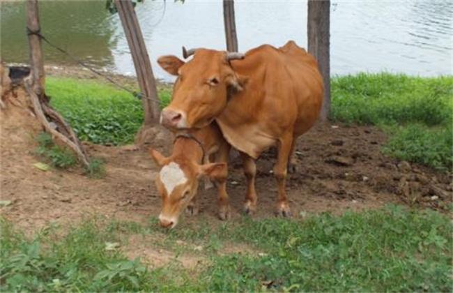 母牛常见流产原因
