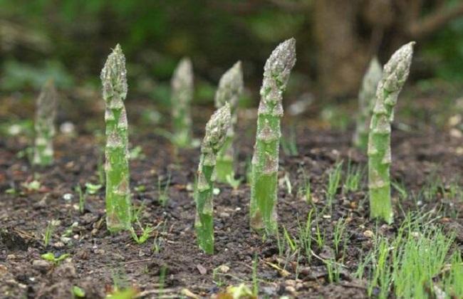 芦笋种植的注意事项