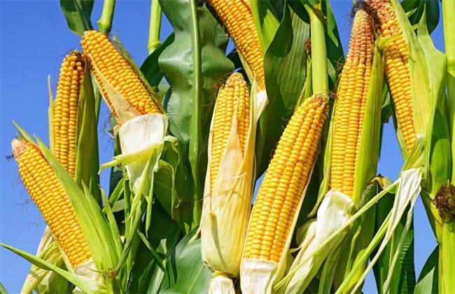 玉米 种植 方法