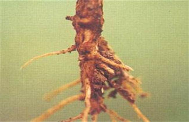绿豆的常见病害及防治方法