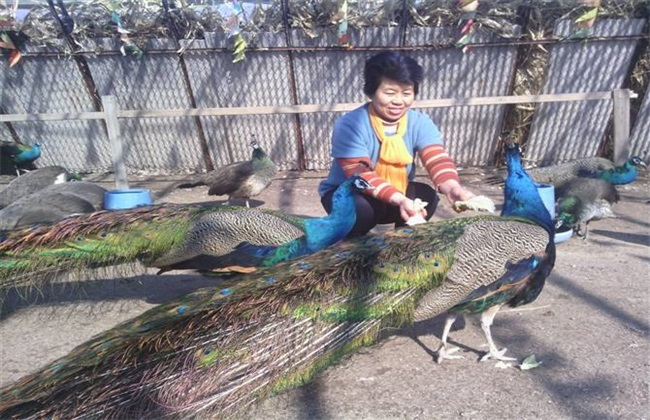 孔雀 养殖 方法