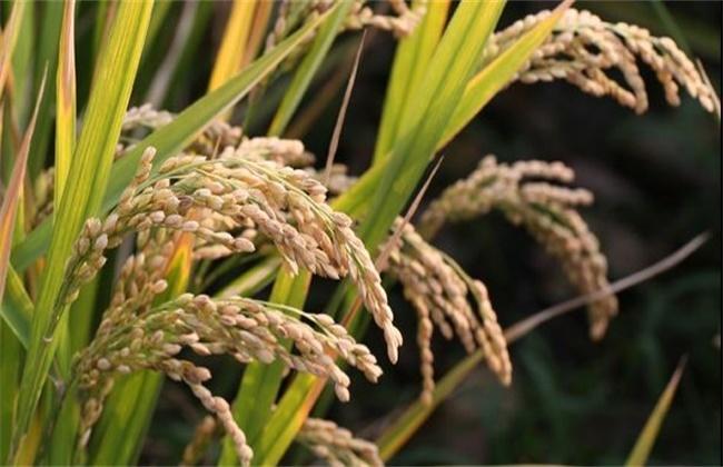 糯米的种植方法