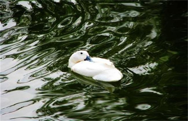 养鸭常见的几种疾病