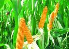 玉米的种植方法