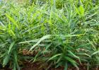 姜的种植方法和时间