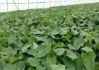 红薯种植的方法与时间
