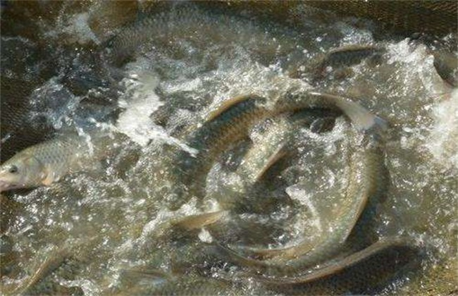 草鱼喂养注意事项