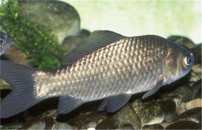 草鱼的常见病害防治方法
