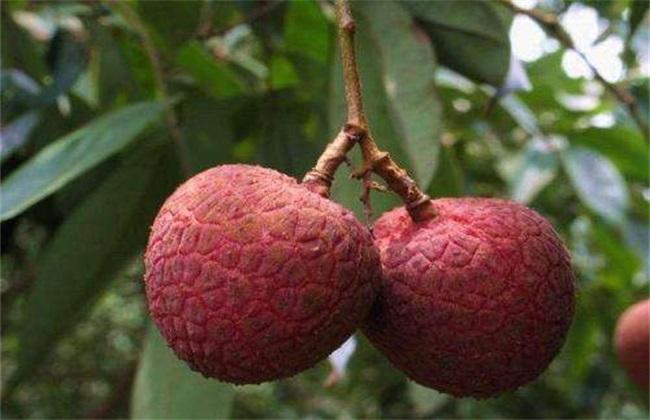 荔枝常见病虫害及防治