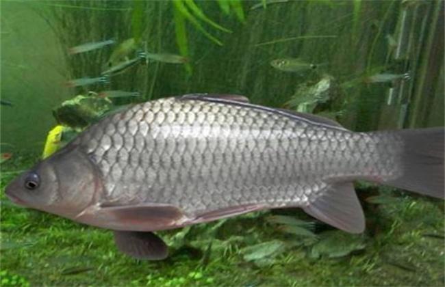 鲫鱼的养殖方法