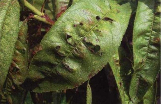 桃树细菌性穿孔